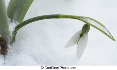 Snowdrop flower - A snowdrop flower in front of white...