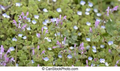 Henbit flowers in front of pale blue blurs