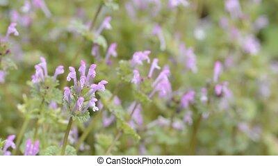 Henbit flowers in front of flower blurs