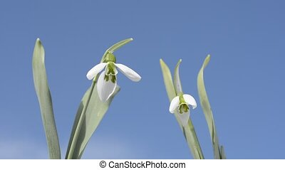 Snowdrop flowers under blue sky in winter