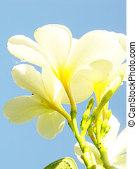 blu, fiore, cielo,  adenium,  obesum, bianco