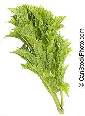 Fresh leaves of Cow Parsnip