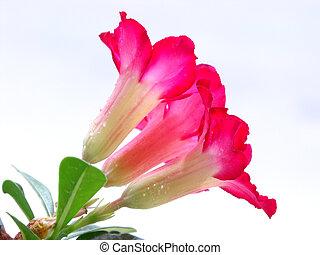 fiore,  adenium, fondo,  obesum, bianco, Deserto, rosso