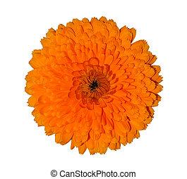 Calendula - Dense orange calendula blossom, isolated on a...