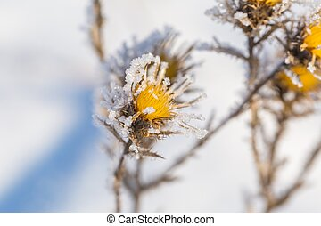 Withered and dry thistle flower in winter rime