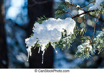 Snow and icicles on branch of Ponderosa Pine in Arizona -...