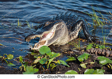 American alligator (A. mississippiensis) in the Everglades...