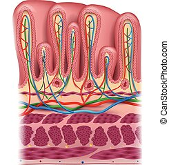 Stomach wall layers detailed anatomy, beautiful colorful...