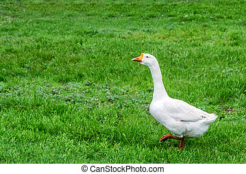 Domestic geese on traditional farm - Domestic geese in...