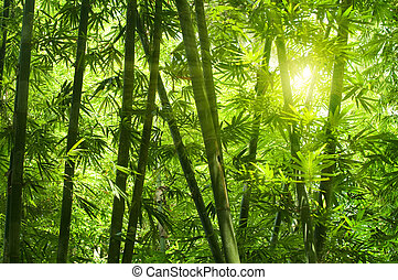 Bamboo forest - Asian Bamboo forest with morning sunlight...