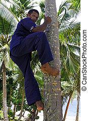 noce di cocco, dimostra, albero, su, Indigeno, come, fijian,...