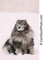 Keeshond Dog Play Outdoor In Snow. Winter Season. Dog Training Outdoors