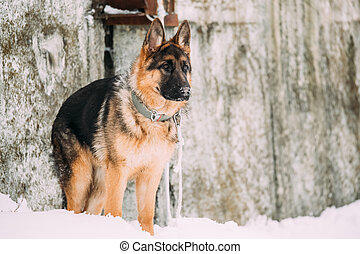 German Shepherd Alsatian Wolf Dog Staying Outdoor Near Wall...