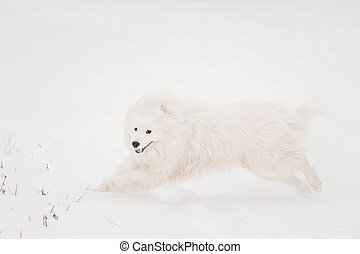 Young White Samoyed Dog, Bjelkier, Smiley, Sammy, Playing...