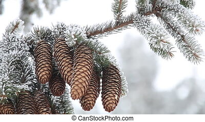 Winter or Christmas background, Fir Branch With Pine Cone covered with hoarfrost.