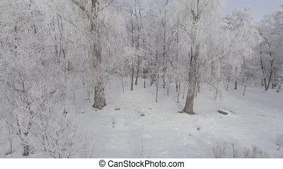 panorama of trees covered with frost off over the winter forest