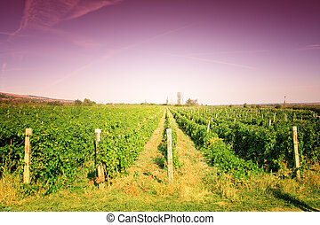 Vineyard colorful landscape with mauve vibrant sky