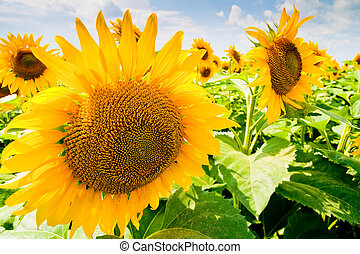 Sunflower field and blue sky - Outdoor image of sunflower...