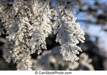 Pine boughs covered in hoar frost.