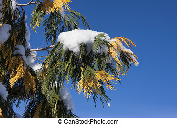 Snow on pine bough. - A clump of snow covers a branch with...