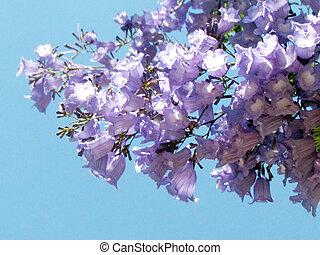 Or Yehuda Jacaranda flower May 2011 - Jacaranda flower in Or...