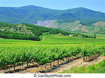A plantation of grapevines, mountains and blue sky -...