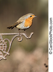 Robin, Erithacus rubecula, Single bird on fence,...