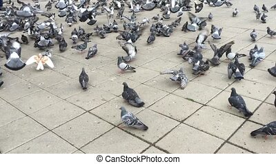 Flock of Pigeons Feeding at Square