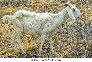 Billy Goat Eating Brush in the Field - White male Billy Goat...