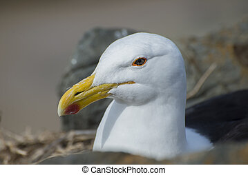 Portrait of a Seagull Nesting - An up close view of only the...