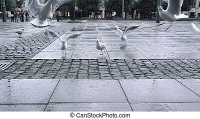 Seagulls flocking and fighting for food on city square paved...