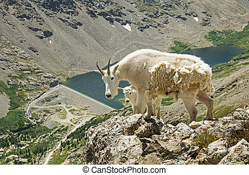 Mountain Goats - a mother and baby mountain goat on Quandary...