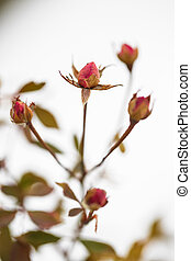 buds of roses on a background snow. winter and flowers - the...