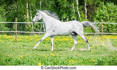 White horse running on the pasture in summer - White horse...
