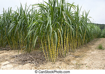Sugarcane Field - Sugarcane field