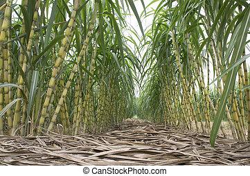 Sugarcane Field - Sugarcane plantation