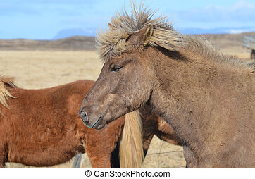 Icelandic Horse with a Spikey Forelock - Icelandic horse...