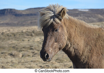 Perfect icelandic Horse in a Field