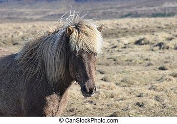 Roan Icelandic Horse Standing in a Field