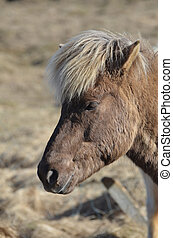Wooly Icelandic Horse in a Field