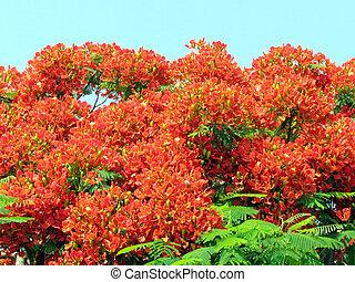 Ramat Gan Wolfson Park red acacia flower June 2011 - Red...