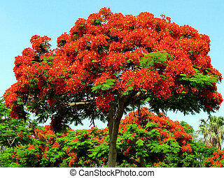 Ramat Gan Wolfson Park red acacia tree June 2011 - Red...