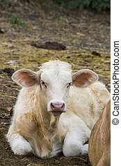 Image of a cow relax on nature background. Farm Animal.