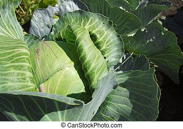 head of cabbage at garden bed - top view of head of cabbage...
