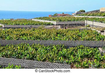 Banana Plantation Field in Tenerife Canary Islands