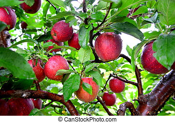 Cameo Apples - This Photo was taken at Jonamac Apple Orchard...