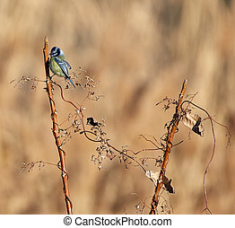 Blue tit on a branch in a sunny day