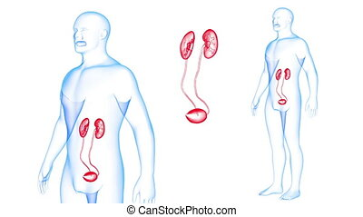 Human Body Kidneys X-ray effects Loop Rotation. 3d render...