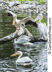 Group of white pelicans on a tree in the water, rest