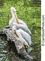 Group of white pelicans on the grass. - Group of white...